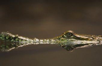 Crocodile In The Water Wallpaper 800x480 340x220