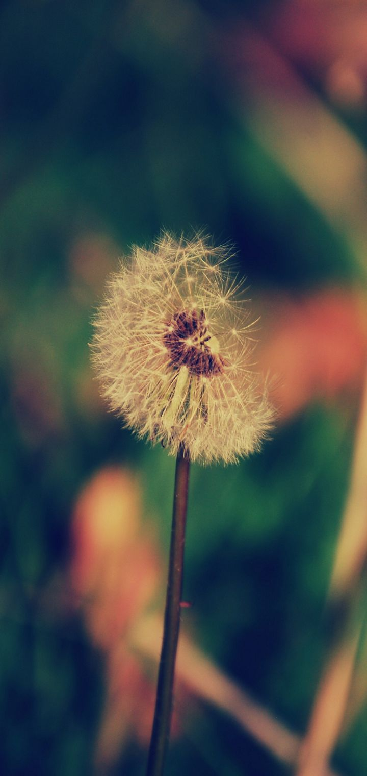 Dandelion Flower Blur Wallpaper 720x1520