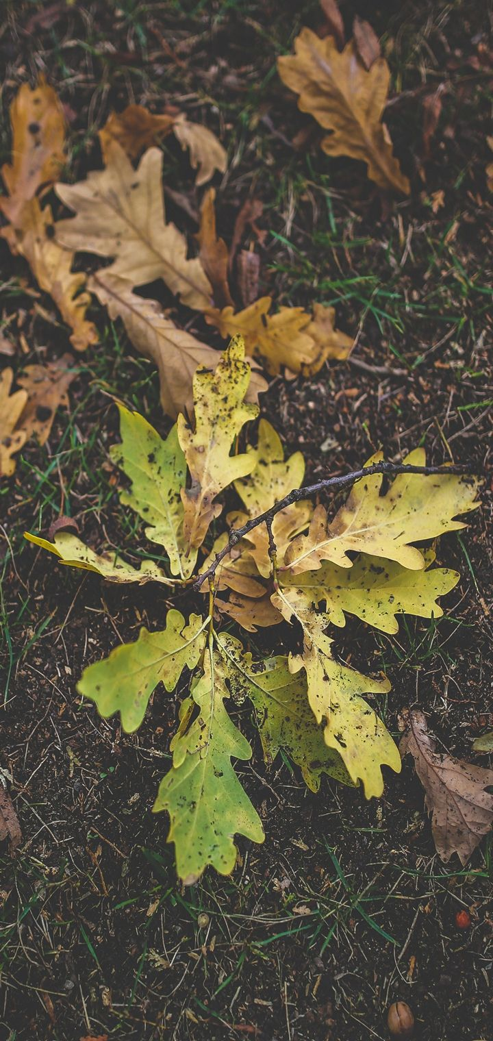 Foliage Oak Autumn Grass Wallpaper 720x1520