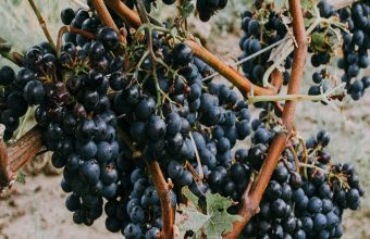 Grapevine Grapes Berries Wallpaper 720x1520 340x220