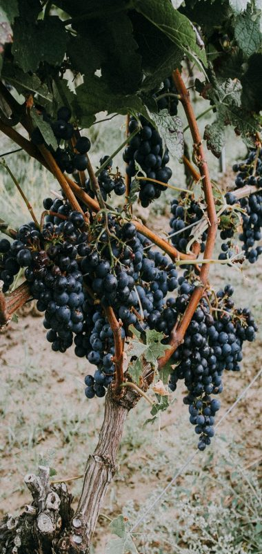 Grapevine Grapes Berries Wallpaper 720x1520 380x802
