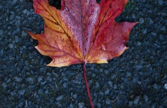 Leaf Maple Autumn Wallpaper 720x1520 340x220