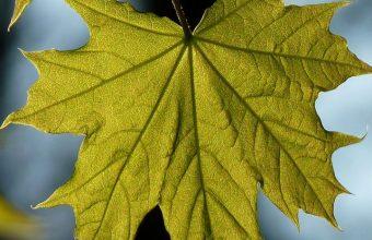 Maple Leaf Blur Wallpaper 720x1520 340x220