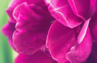 Peony Pink Bud Petals Wallpaper 720x1520 340x220
