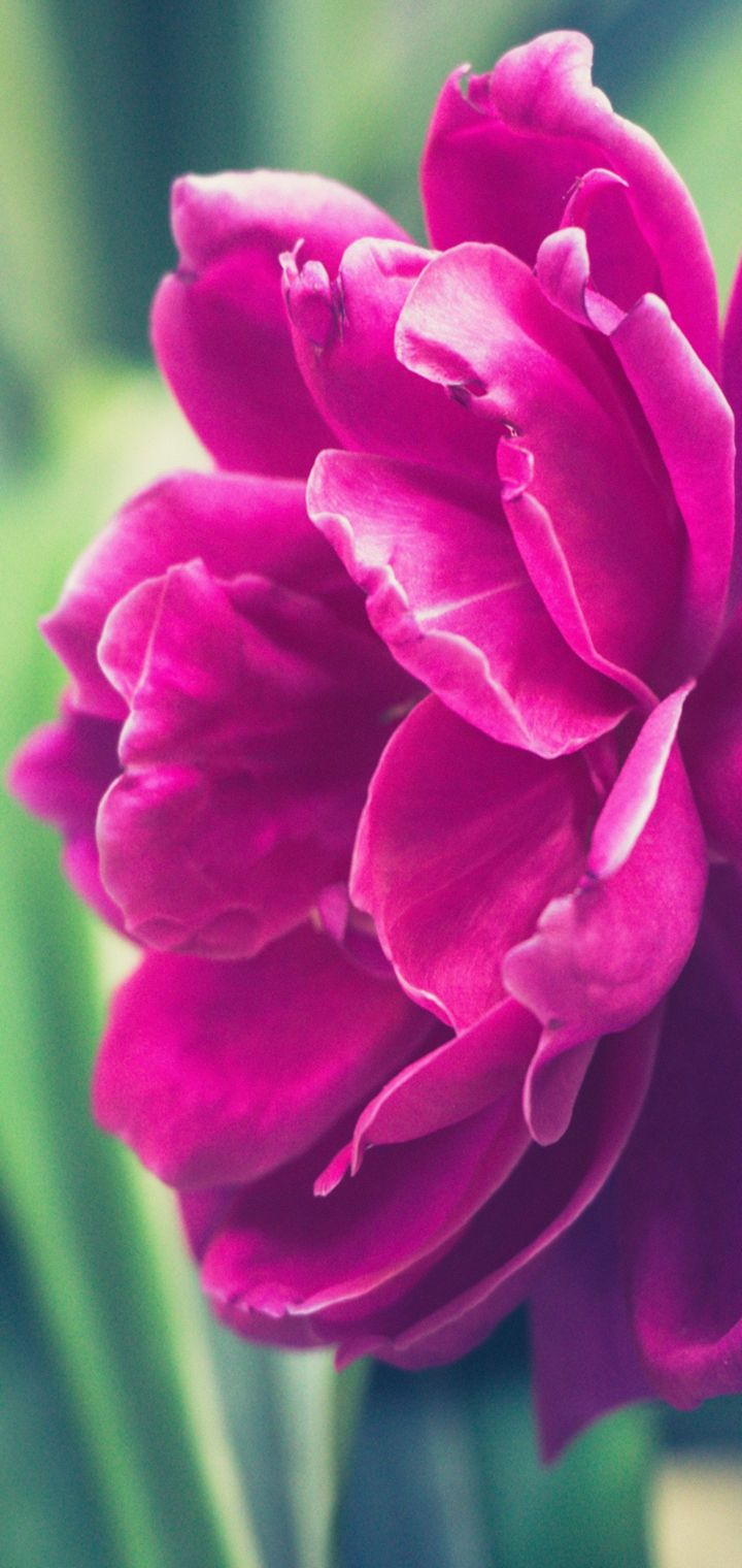 Peony Pink Bud Petals Wallpaper 720x1520