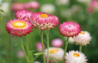 Pink Flowers Wallpaper 960x600 340x220