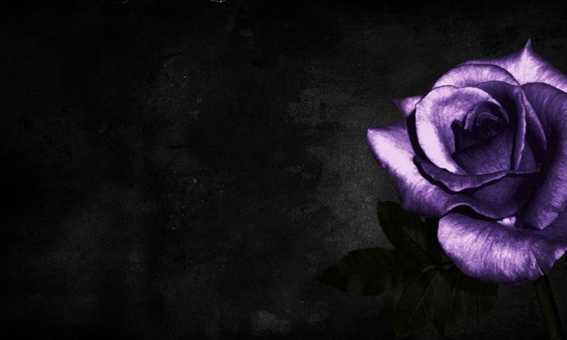 Purple Rose On Black Background Wallpaper