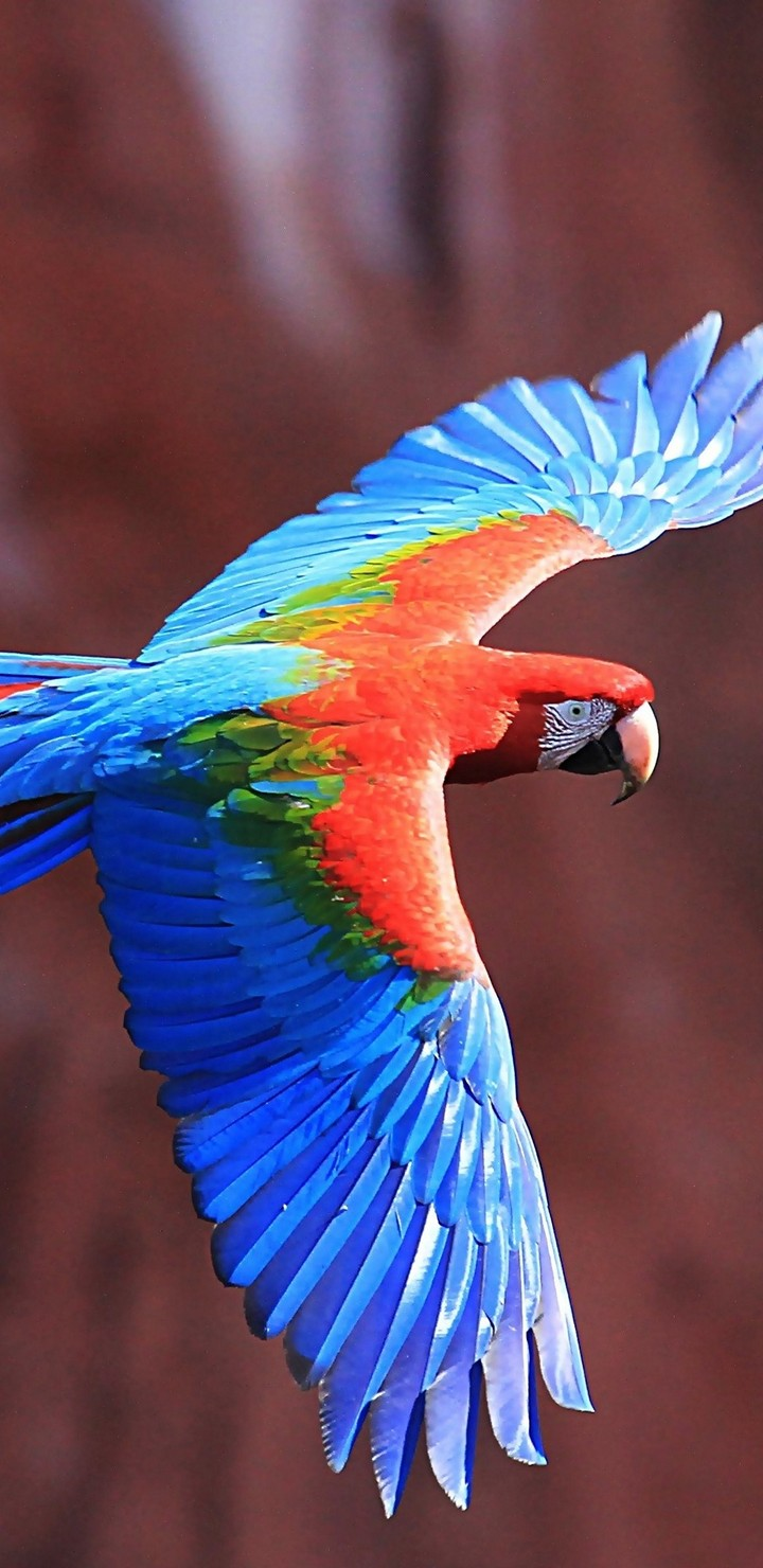Red-And-Green Macaw Ultra HD Wallpaper
