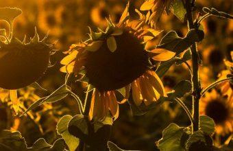 Sunrise Sunset Sunflower Field Flowers Wallpaper 720x1520 340x220