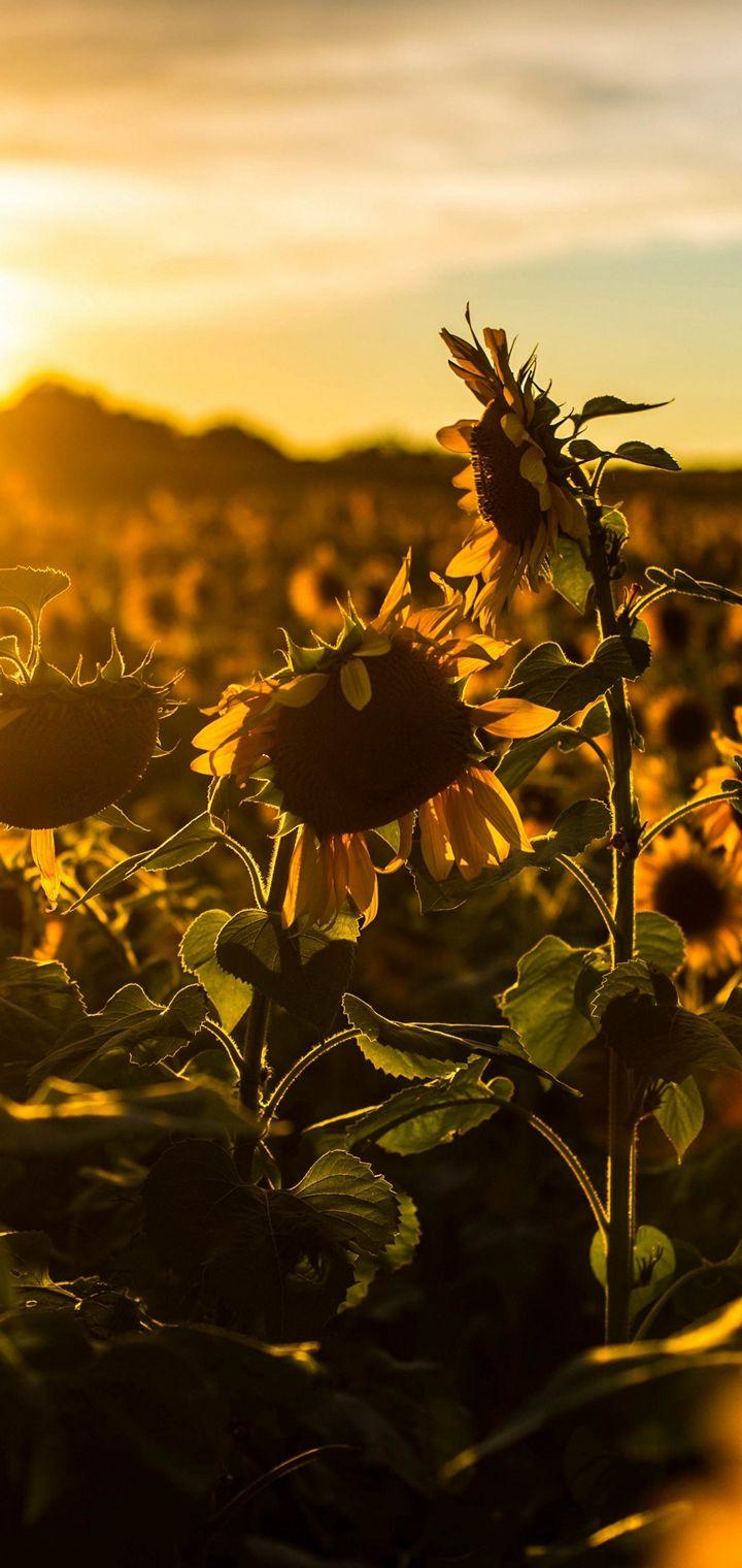 Sunrise Sunset Sunflower Field Flowers Wallpaper 720x1520