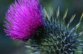 Thistle Flower Spines Wallpaper 720x1520 340x220