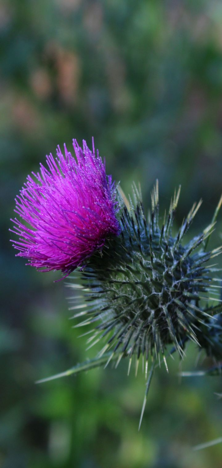 Thistle Flower Spines Wallpaper 720x1520