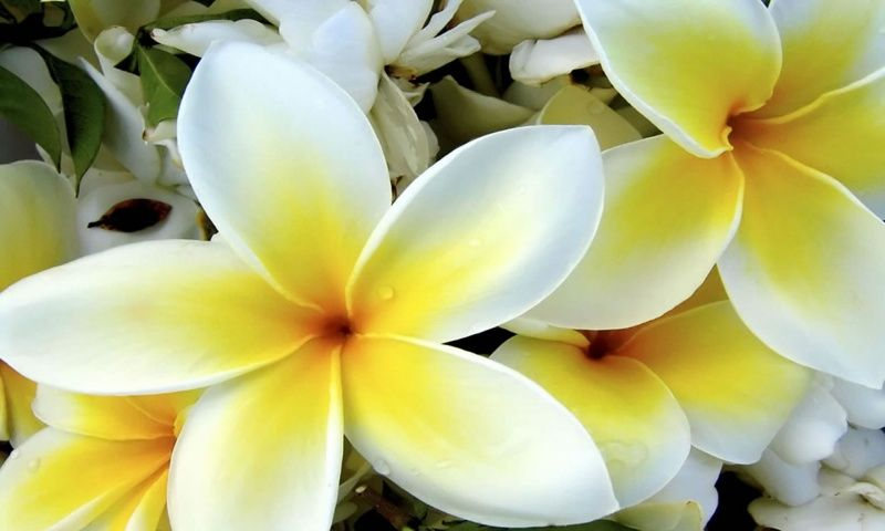 Tropical white and yellow flower wallpaper 800x480 tropical white and yellow flower wallpaper 800x480 768x461 mightylinksfo