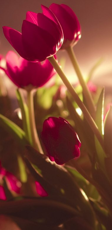 Tulip Ultra HD Wallpaper 720x1480 380x781