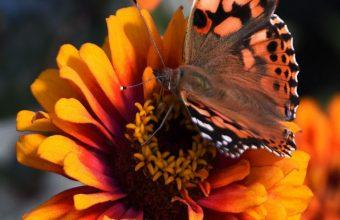 Zinnia Butterfly Flower Wallpaper 720x1520 340x220