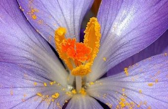 Autumn Purple Crocus 1080x2340 340x220