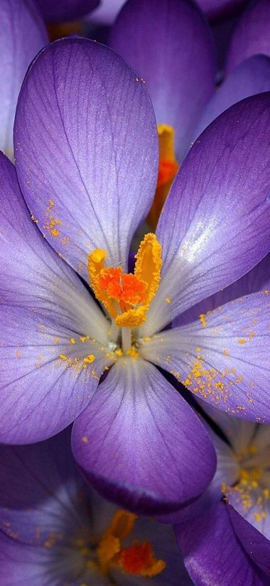 Autumn Purple Crocus 1080x2340 380x823
