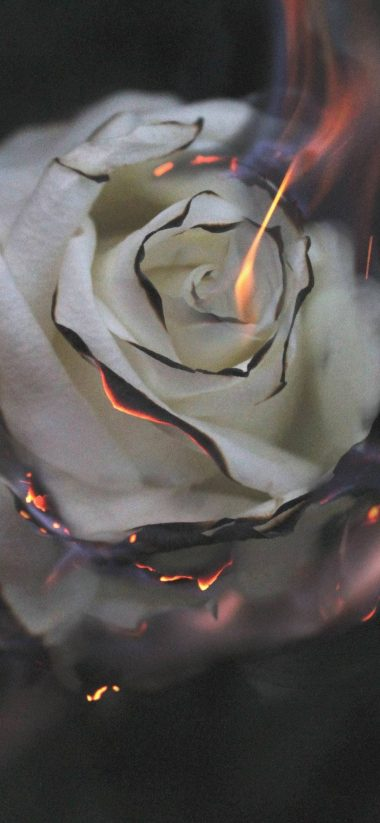 Burnin Rose Wallpaper 1080x2340 380x823