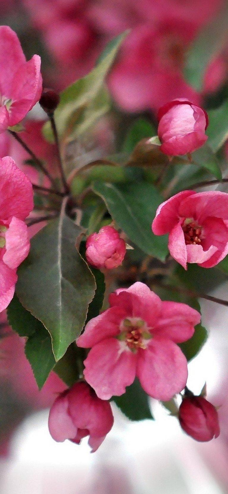 Color Pink Petals 1080x2340 768x1664