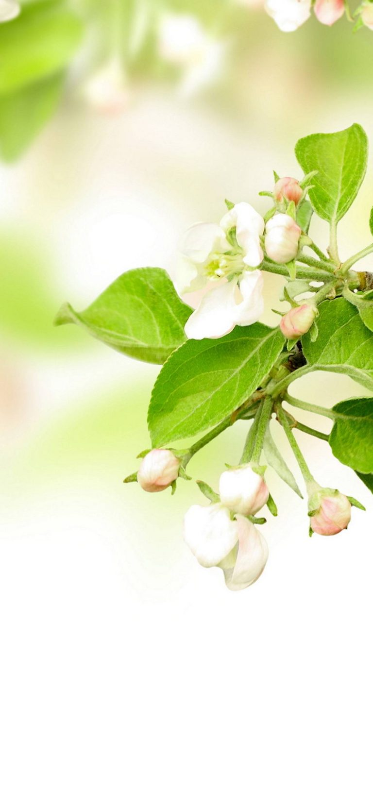 Leaves Spring Flowers Apples 1080x2340 768x1664