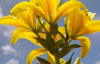 Lily Flowers 1080x2340 340x220