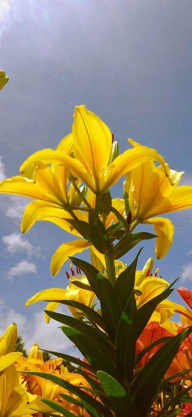 Lily Flowers 1080x2340 380x823
