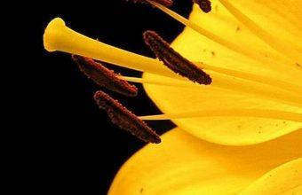 Lily Petals Bud 1080x2340 340x220