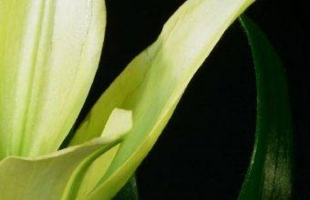 Lily Plant Flower 1080x2340 340x220