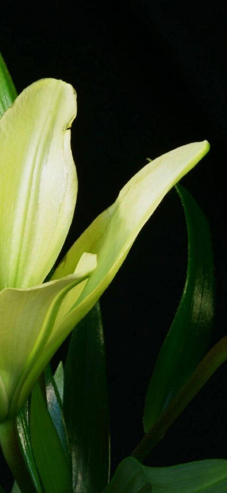 Lily Plant Flower 1080x2340 768x1664