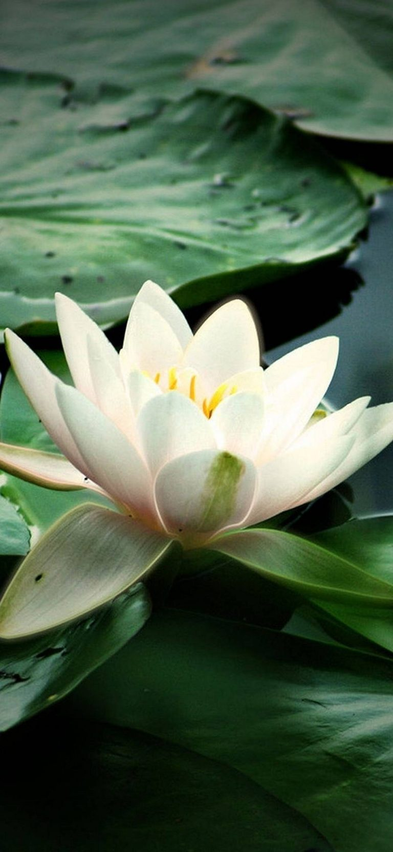Lily Water Leaves 1080x2340 768x1664