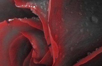 Red Black Rose 1080x2340 340x220