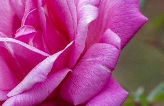 Rose Petals Branch 1080x2340 340x220