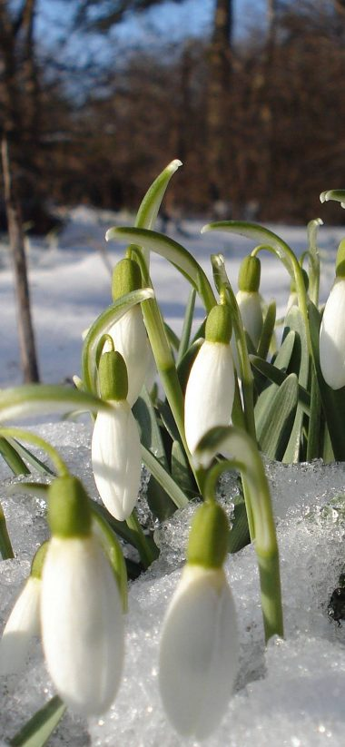 Snowdrops Spring Flowers 1080x2340 380x823