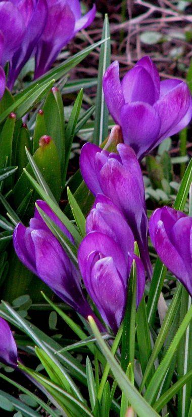 Snowdrops Spring Grass 1080x2340 380x823