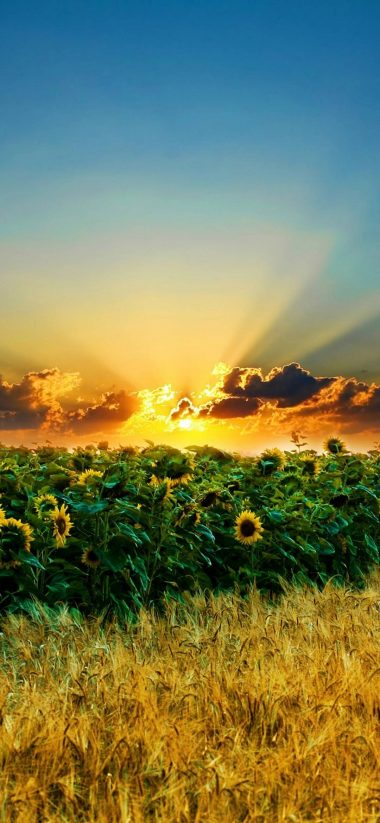 Sun Field Sunflower 1080x2340 380x823