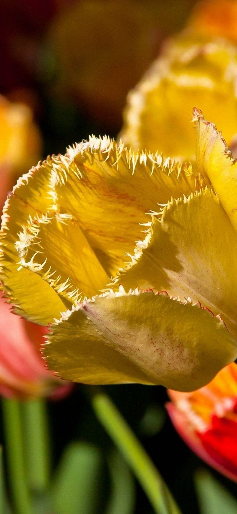 Tulip Petals Branch 1080x2340 768x1664