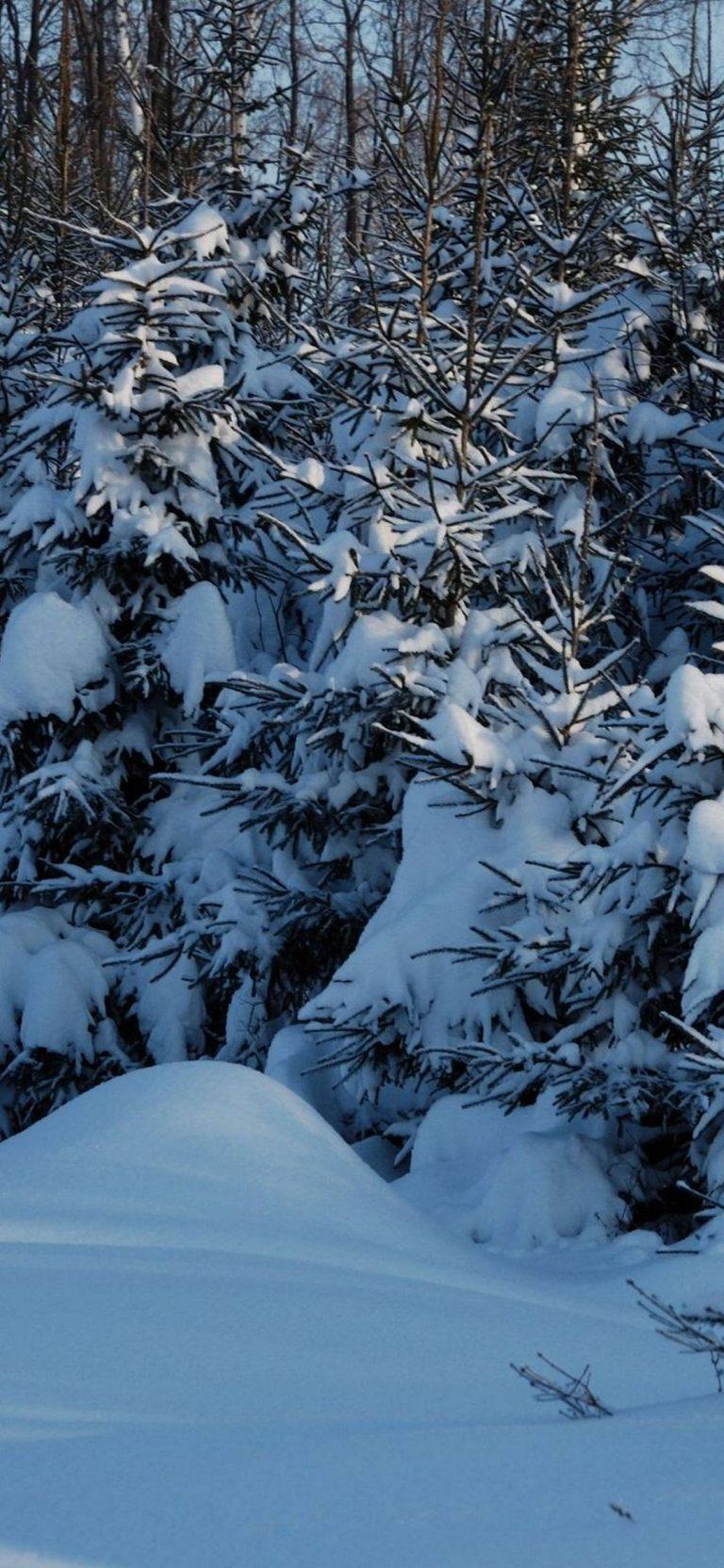 Winter Fir Trees Snow 1080x2340 768x1664