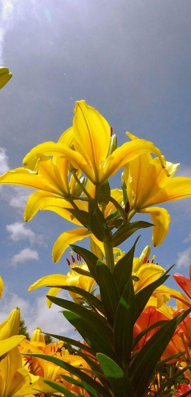 Lily Flowers 1080x2244 380x790