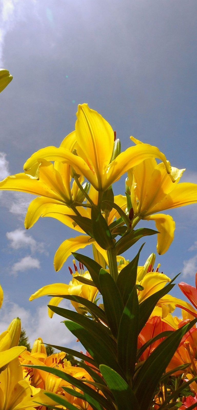 Lily Flowers 1080x2244 768x1596