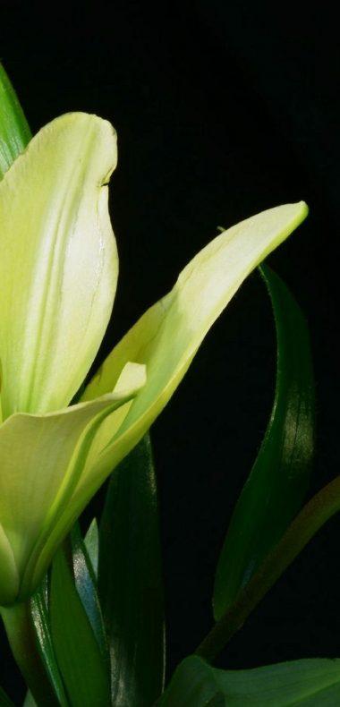 Lily Plant Flower 1080x2244 380x790