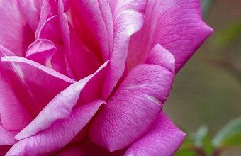 Rose Petals Branch 1080x2244 340x220