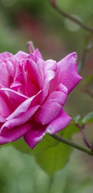 Rose Petals Branch 1080x2244 380x790
