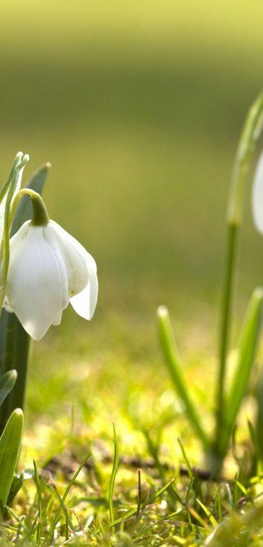 Snowdrops Grass Spring 1080x2244 380x790