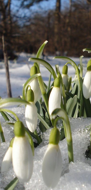 Snowdrops Spring Flowers 1080x2244 380x790