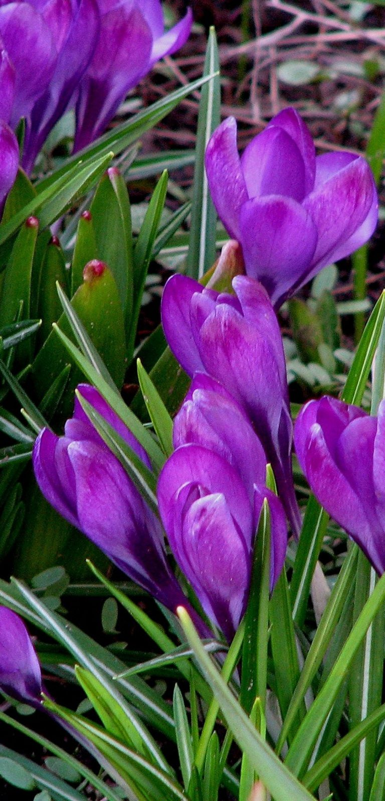 Snowdrops Spring Grass 1080x2244 768x1596