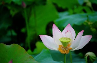 Lotus Wallpaper 08 2560x1600 340x220