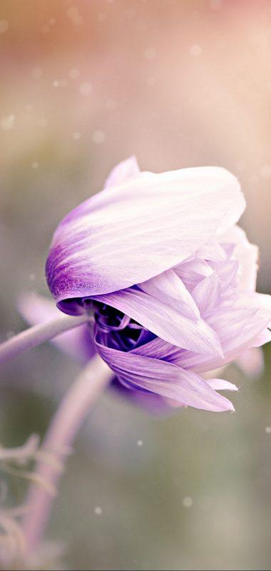 Anemonastrum Anemone Flower Bud Blur 1080x2270 380x799