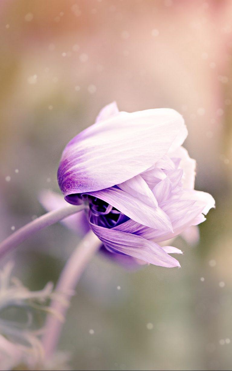 Anemonastrum Anemone Flower Bud Blur 800x1280 768x1229
