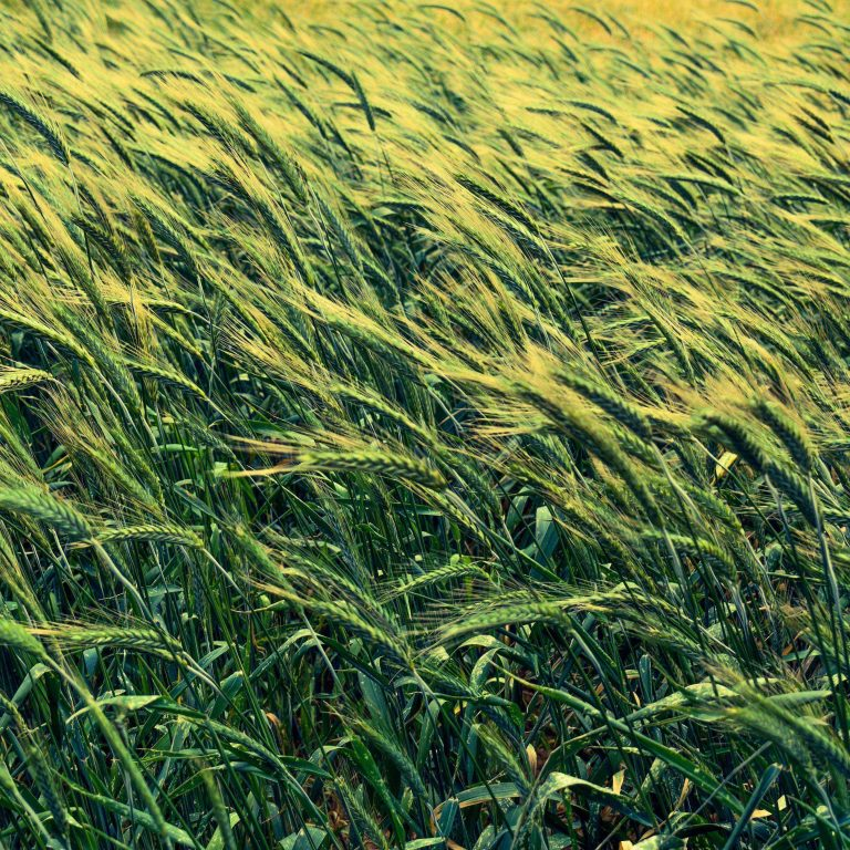 Barley Cereals Field 2780x2780 768x768
