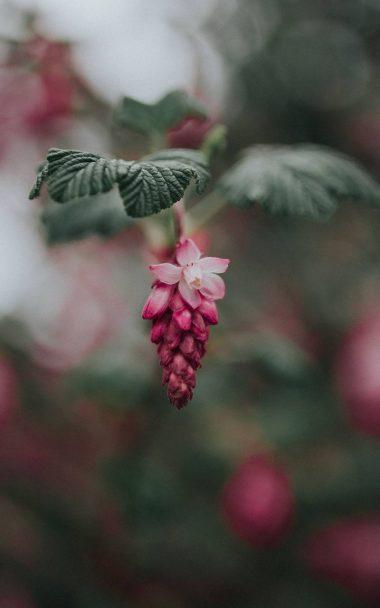 Bloom Pink Flower Blur 800x1280 380x608